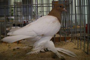 saxon breast - colur german pigeons