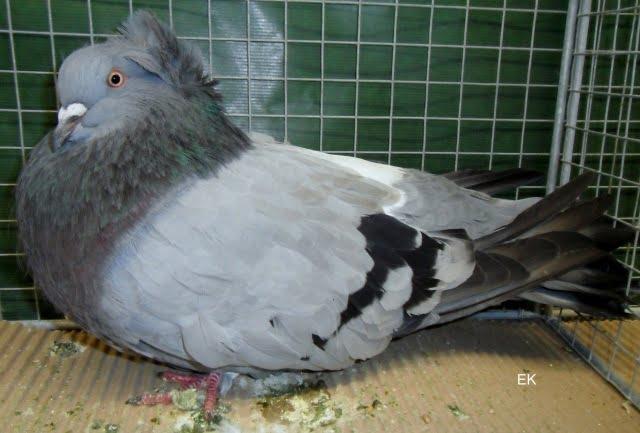 pigeons de forme