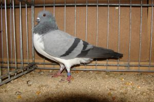 Budapest Kiebitz - tumbler pigeons