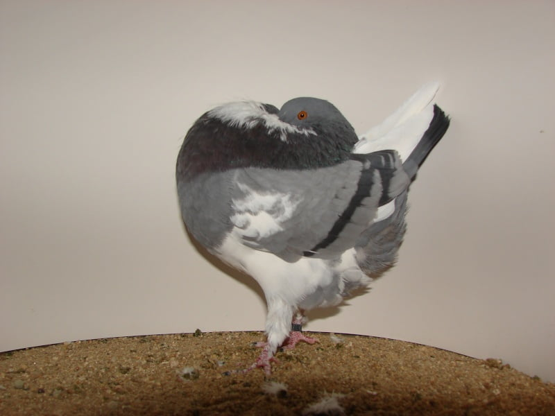 cropper pigeons - güvercin resmi