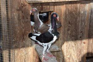 Huhnschecke tauben