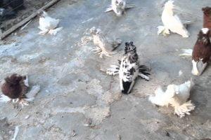 trumpeter pigeon videos