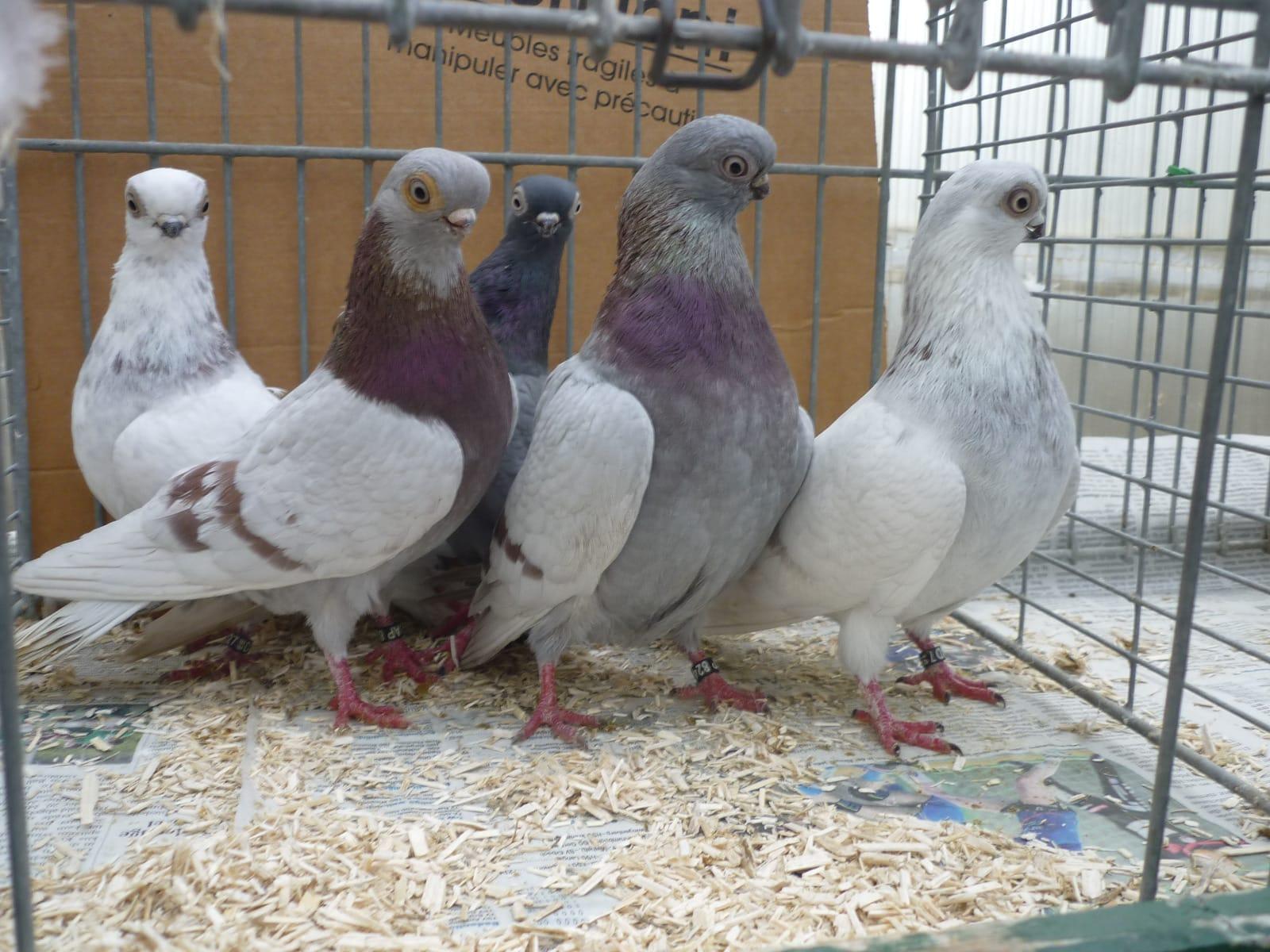 Culbutant-pigeons