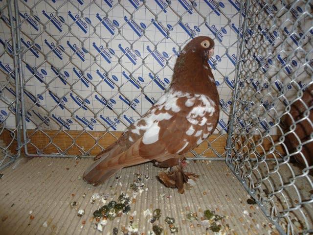 pigeons hambourg