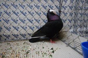 tumbler pigeons - mookee