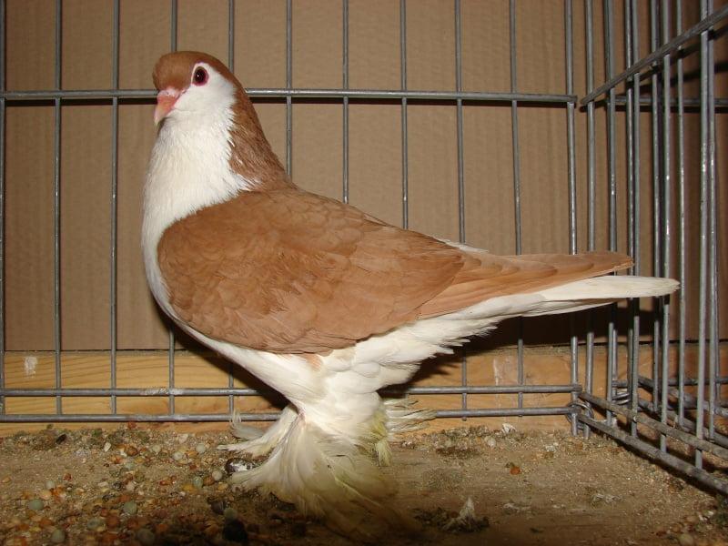 pigeons - formentauben
