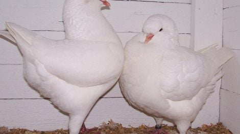 tauben-pigeons