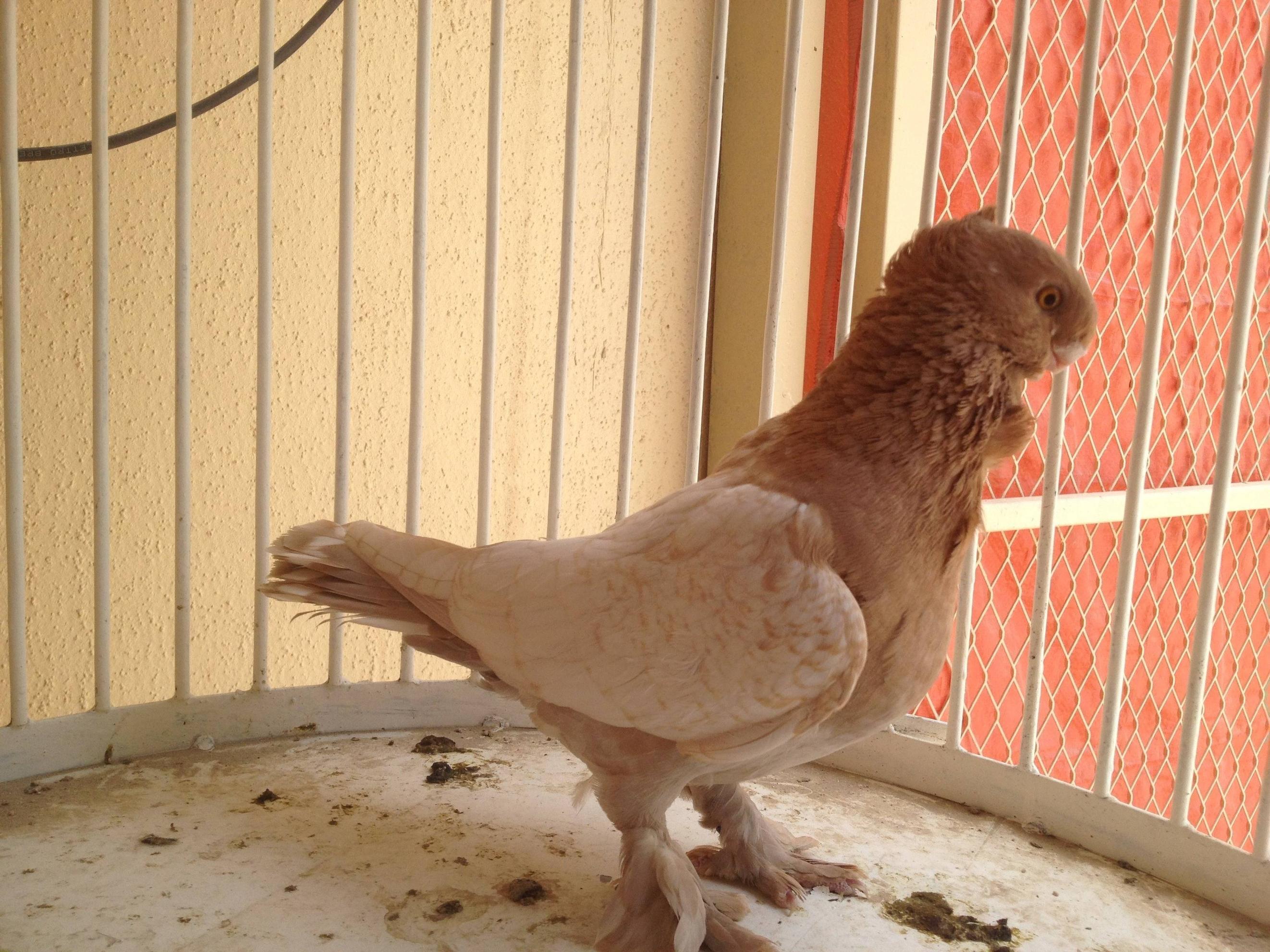 pigeons Cravaté