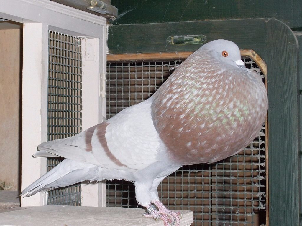 Kröpfer - pakistani - pigeons -pijan bird