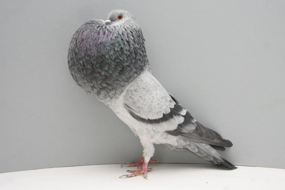 horseman pigeons