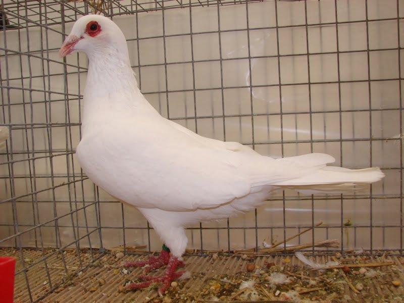 pigeons form