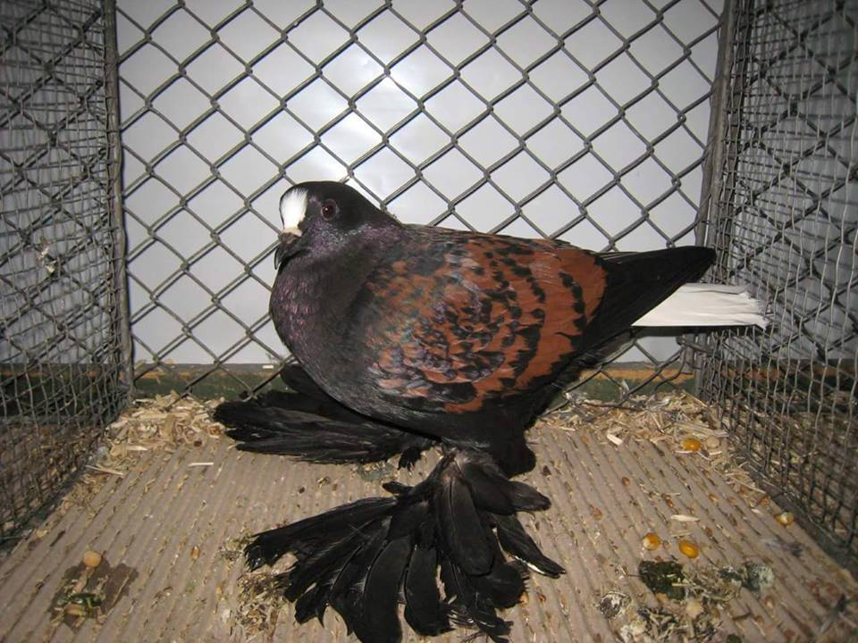 colour - saxon pigeons