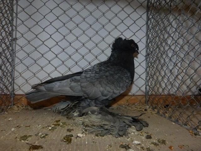 pigeons Tambour