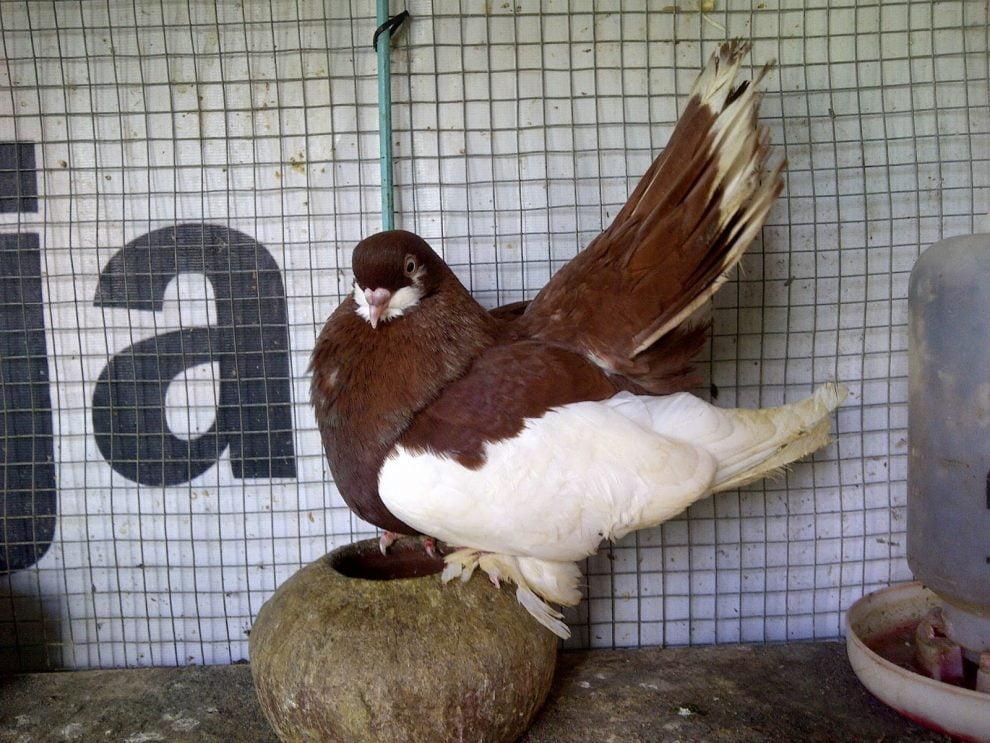 Волжский Красногрудый