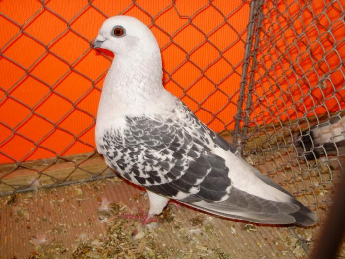 pigon photo - guvercin cesitleri resimli