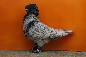 friill-owl-pigeons
