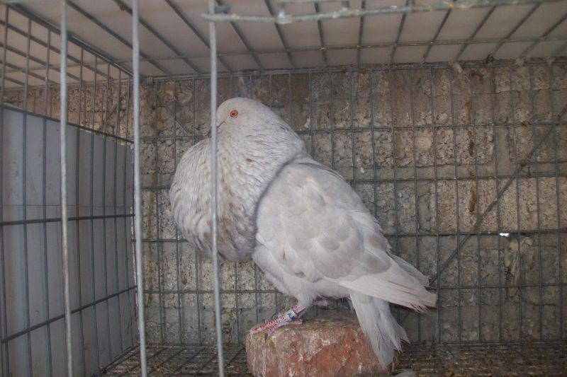 Kröpfer-palomo gaditano