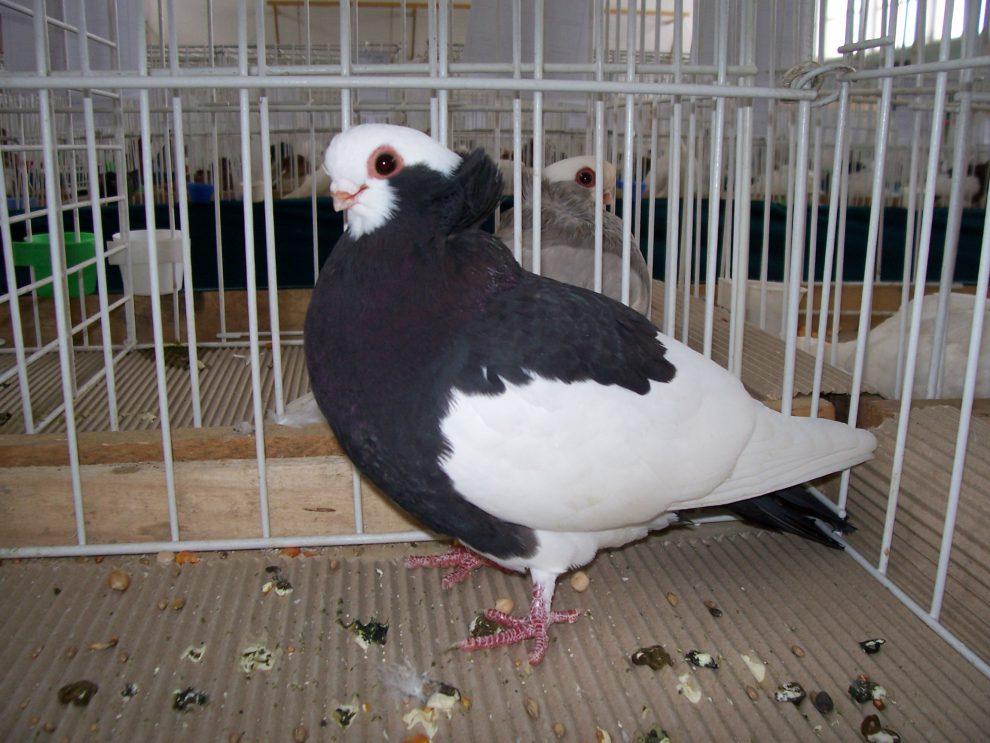 Komorn Tumbler - pigeons - fancy pigeons