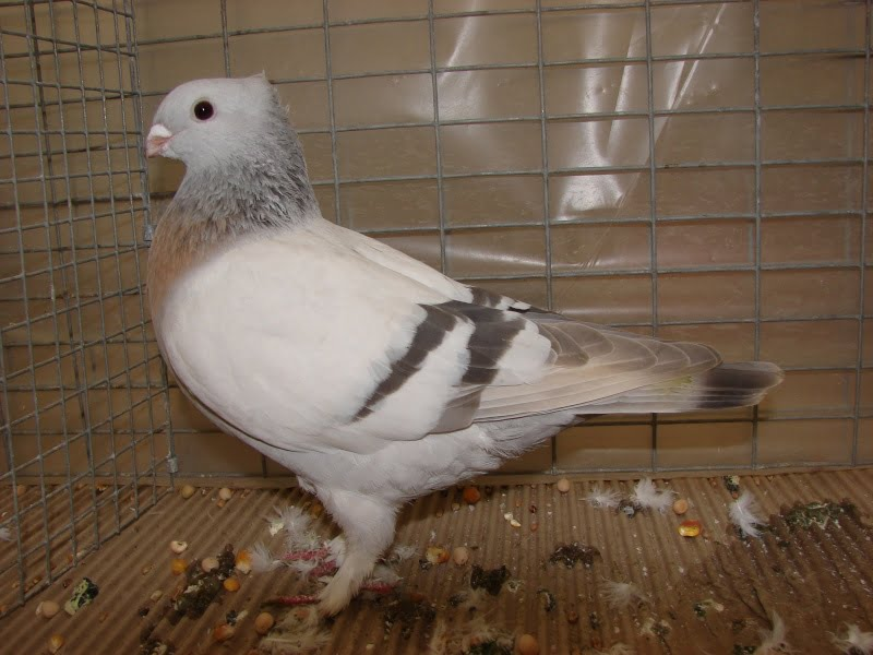 lucerne pigeons