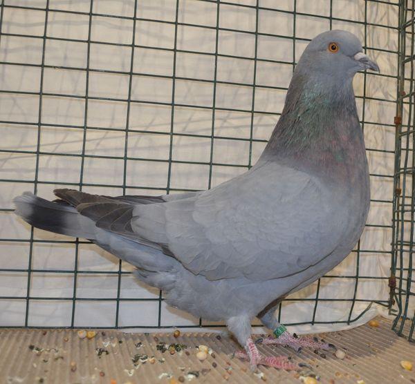 pigeons forme