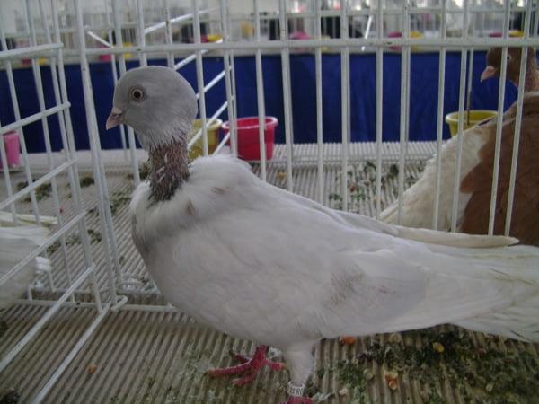pigeons cou nu