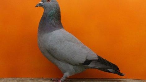 pigeons - form - utility