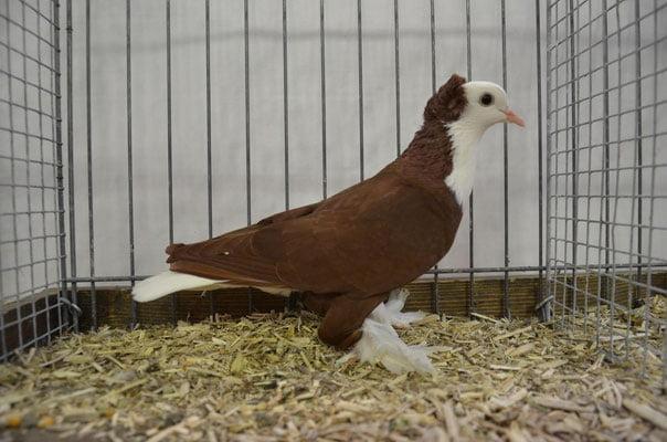 Pigeon Thuringe