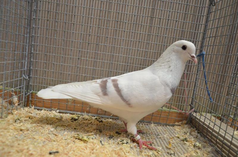 Thuringian Pigeon