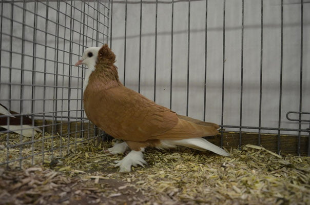 thuringian pigeons
