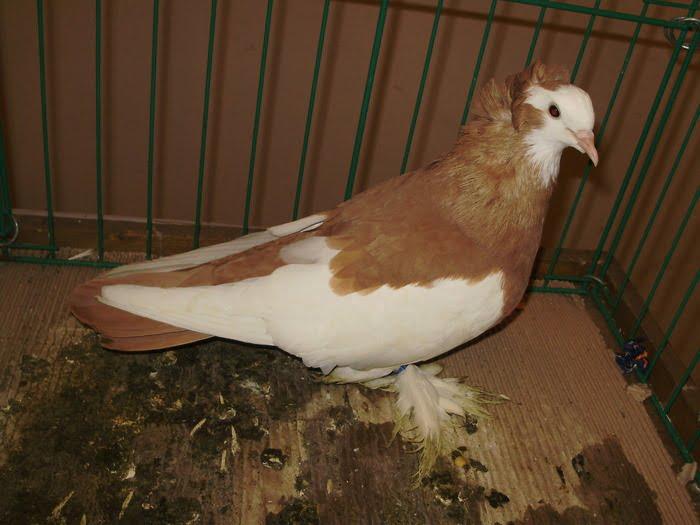 Alföldi buga galamb