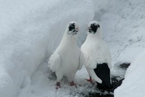 Pigeons Syrien
