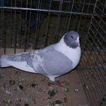 pigeons - kanik - form
