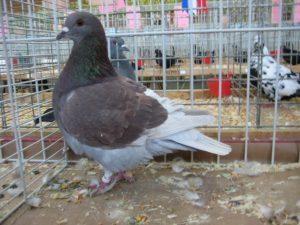 Pigeon - utility pigeons