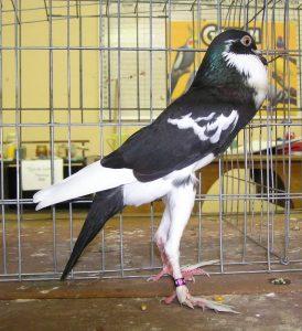 Pigmy Pouter pigeons