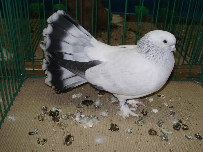 Seldschuk fantail