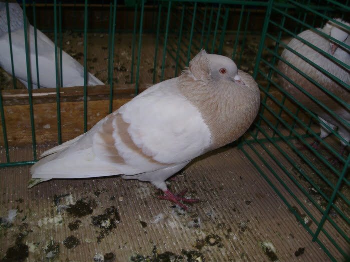 cropper - pigeons