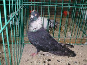 pigeons - rehani
