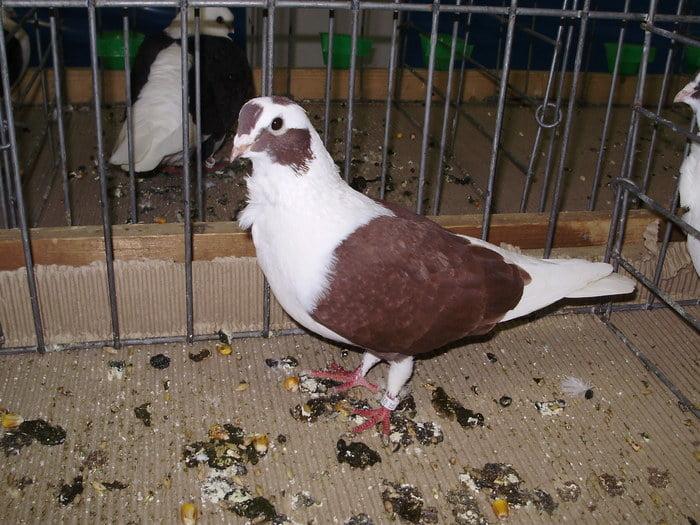 Owl pigeons