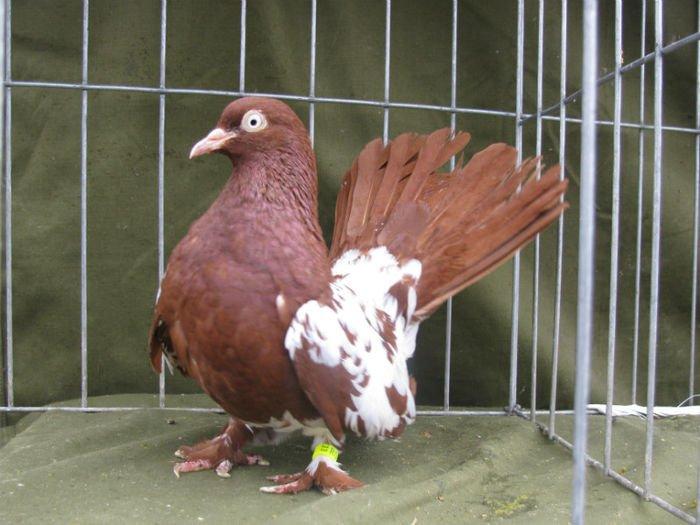 pigeons rallor