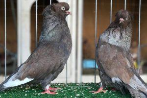 tumbler pigeons - american