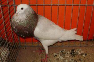 cropper - pouter pigeons