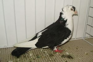 roller pigeons - tumblers