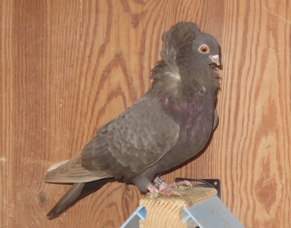 nun - jekobin pigeons