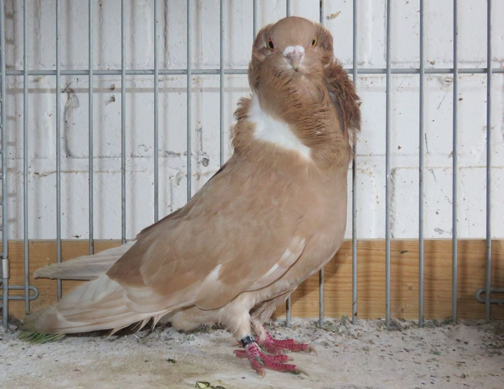 jacobin pigeons - pegion