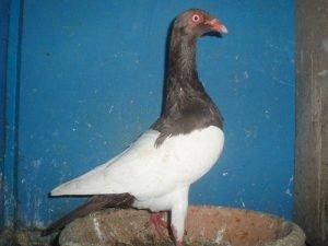 pigeons - culbutant