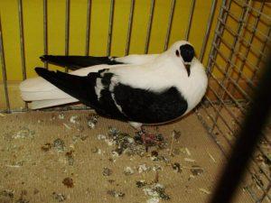 Pigeon de Thuringe