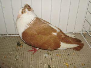 pigeons de galati