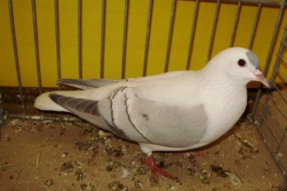 pigeons - homing - decorative