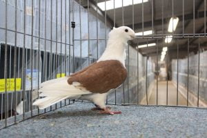 turbit pigeons