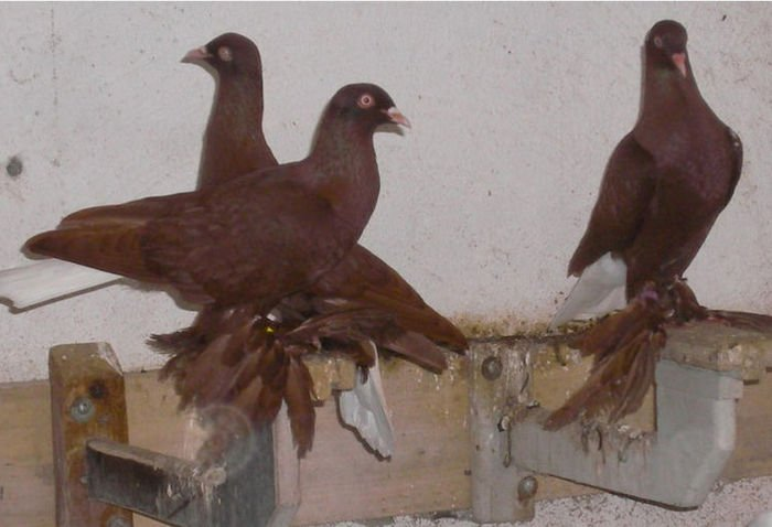 muffed tumbler pigeons